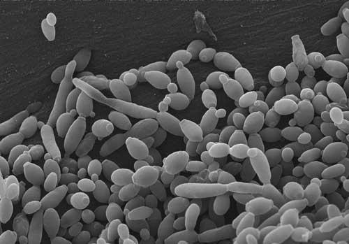 photo de candida au microscope